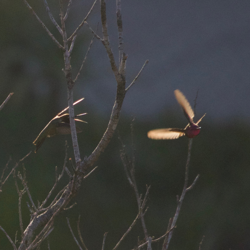 two hummingbirds fight